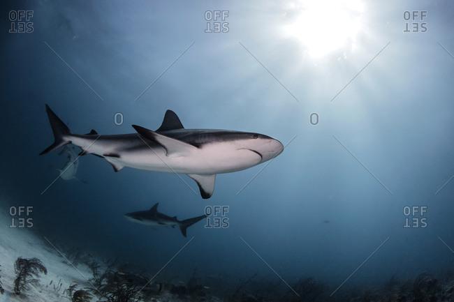 Bull Sharks, low angle view, underwater view, Nassau, Bahamas