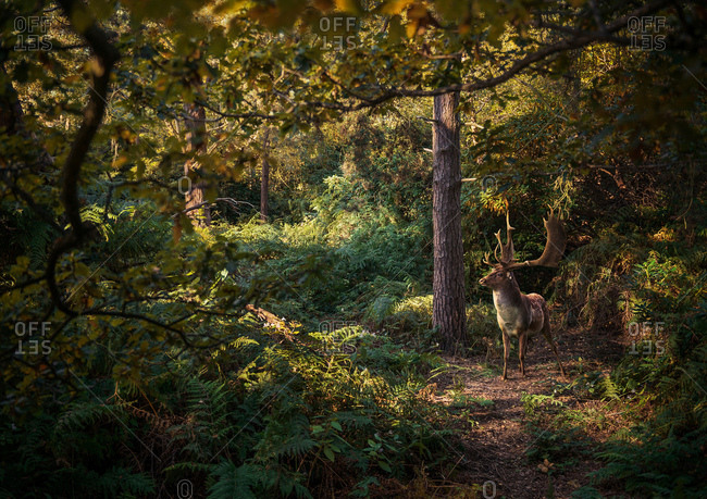 Deer in woodlands, West Midlands, UK