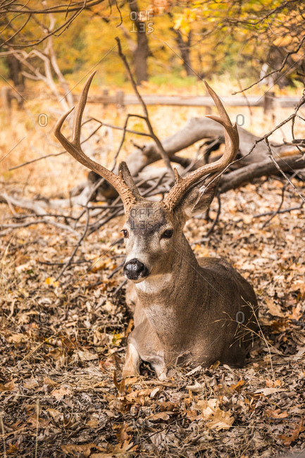 Deer buck lying down in autumn leaves, Yosemite National Park, California, USA