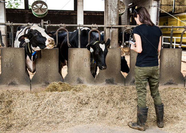 Female farmer looking at smartphone in organic dairy farm cow shed