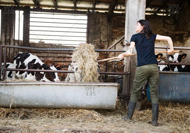 Female organic farmer feeding pitch fork of hay to calves on dairy farm