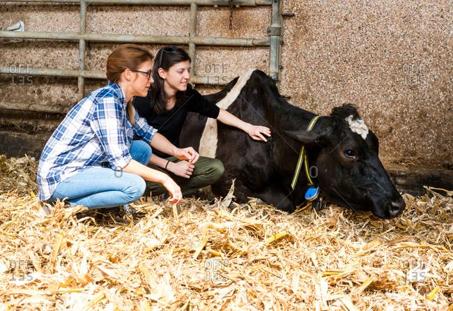 Female farmers tending sick cow at organic dairy farm