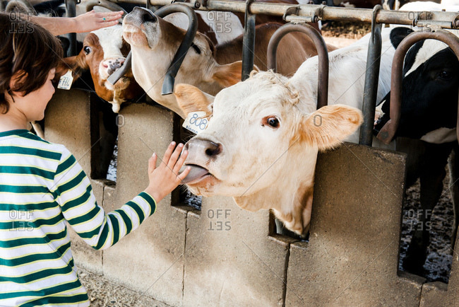 Cow licking boy's hand on organic dairy farm