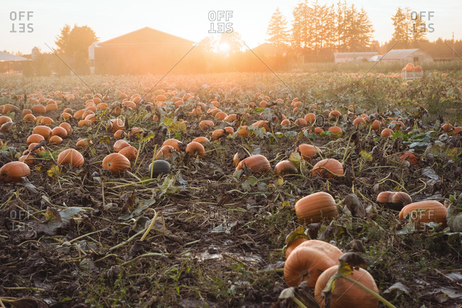 View of pumpkin field