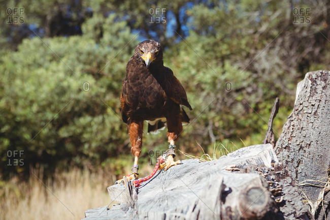 Portrait of golden eagle perching on tree stump
