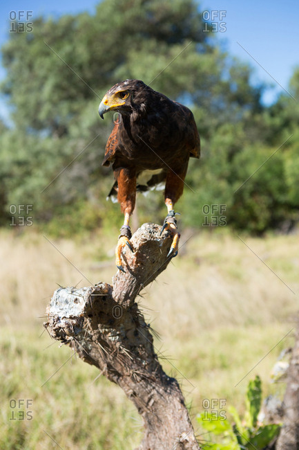 Close up of golden eagle perching on dead plant
