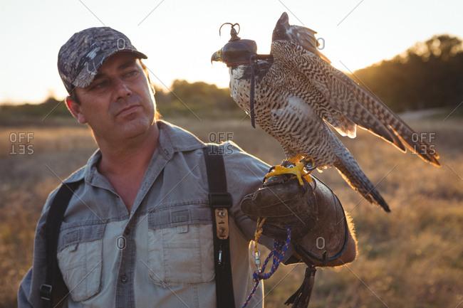 Falconer looking at sparrowhawk
