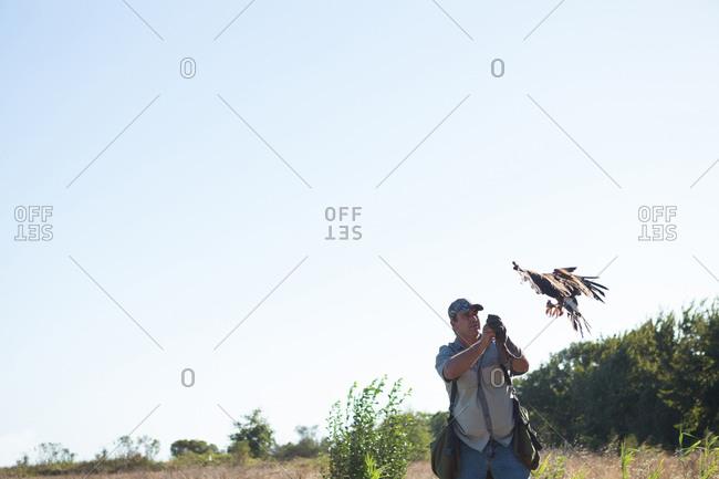 Falconer looking at flying golden eagle