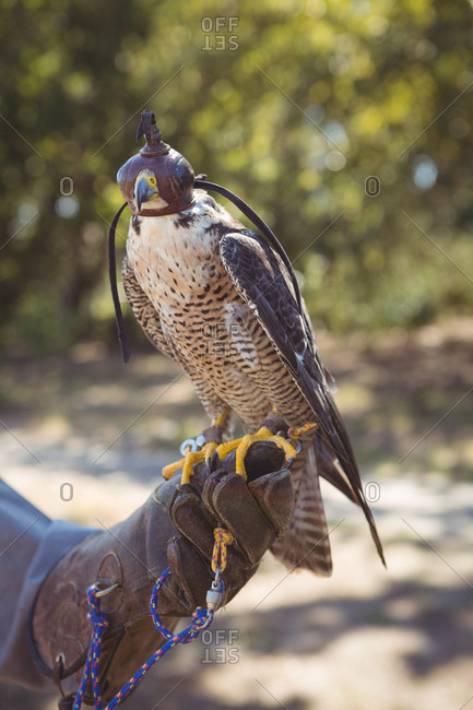 Close up of sparrowhawk on falcon hand