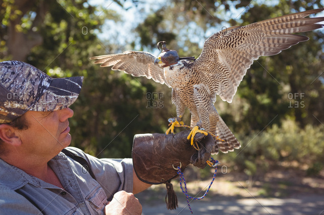 Sparrowhawk with spread wings perching on falconer hand