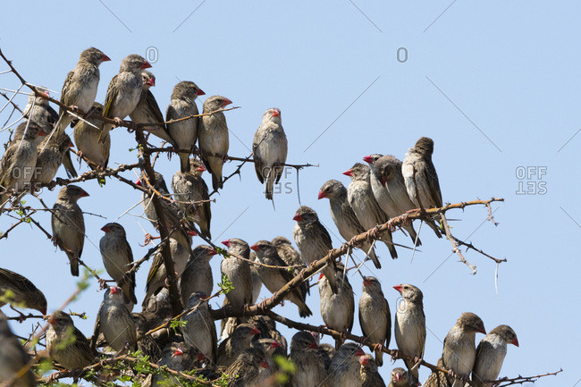 A red-billed quelea flock (Quelea quelea) perched on a tree, Botswana, Africa
