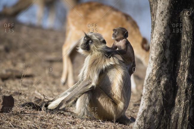 Langur monkey (Semnopithecus entellus), Rajasthan, India, Asia