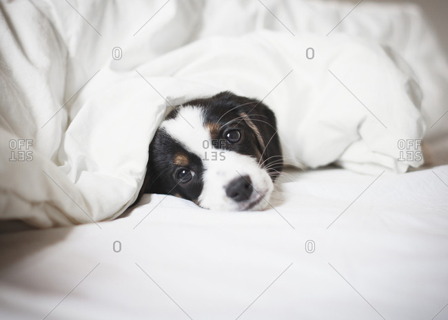 Portrait of puppy covered in blanket on bed