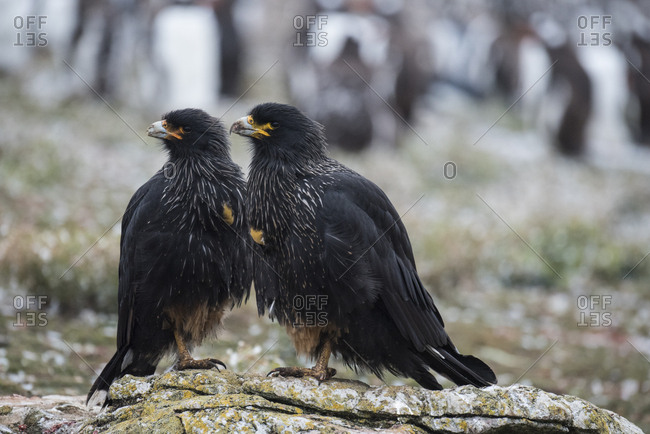 Caracaras stand on a stone looking to scavenge