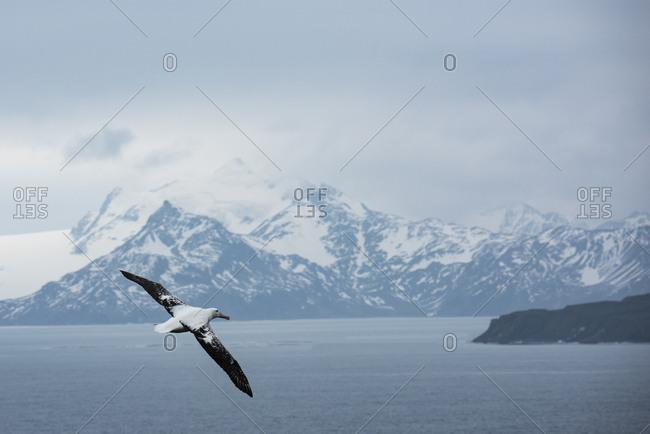A wandering albatross in flight over the ocean