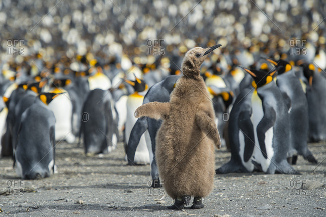 King penguin, Aptenodytes patagonicus, chick stands out in a crowd