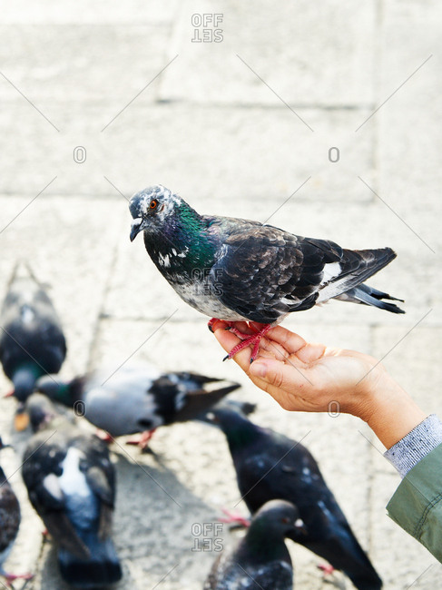 Pigeon perched on person's hand