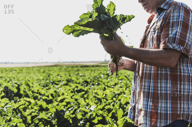 Senior farmer with turnip standing in front of a field- partial view