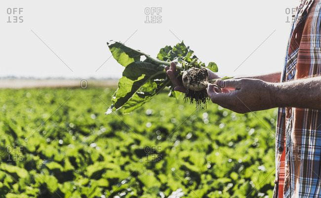 Senior farmer with turnip in front of a field- partial view