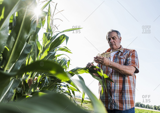 Senior farmer in a field examining maize plant