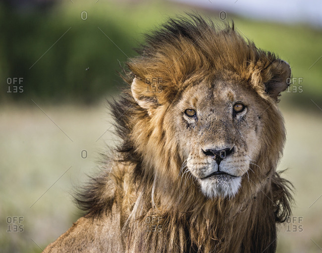 Wildlife portrait of a lion in Tanzania.