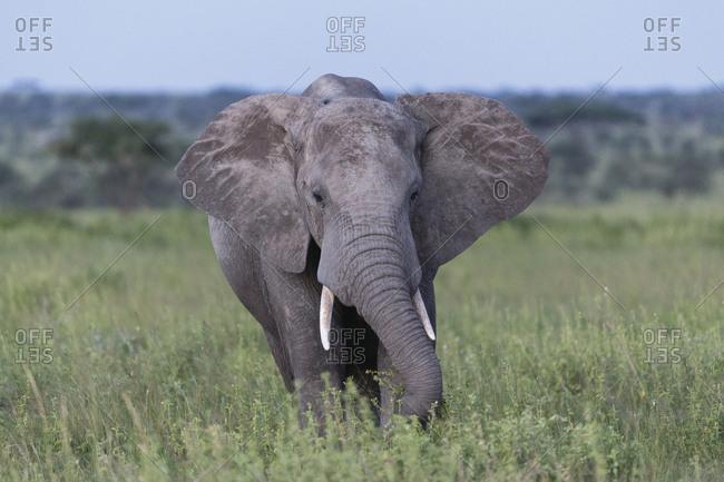 Safari wildlife of Tanzania; portrait of an Elephant.