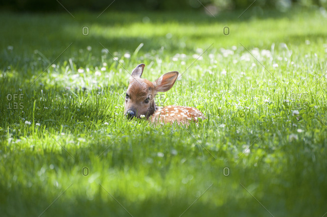 Portrait of fawn sitting on meadow