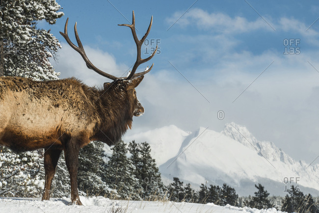 Elk standing on field against snowcapped mountains