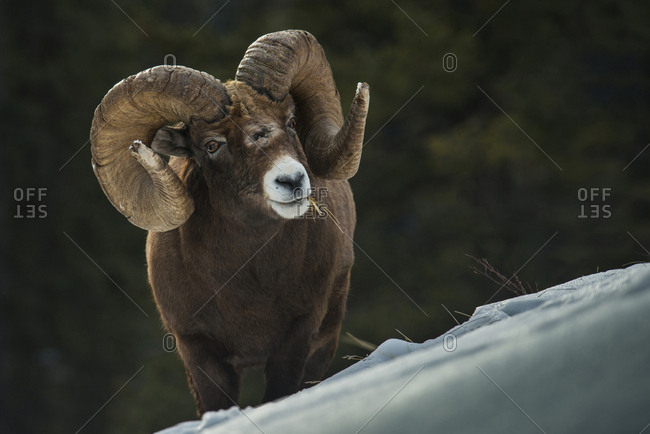 Portrait of big horn sheep grazing on mountain steep