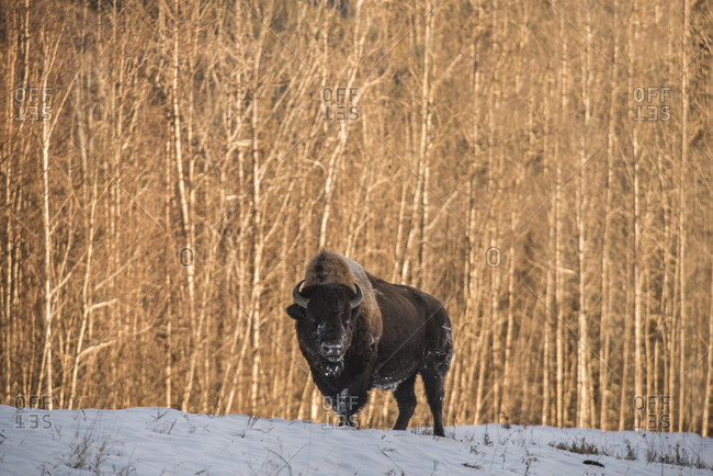 American Bison standing on snowy field against trees at Northern Rocky Mountains Provincial Park