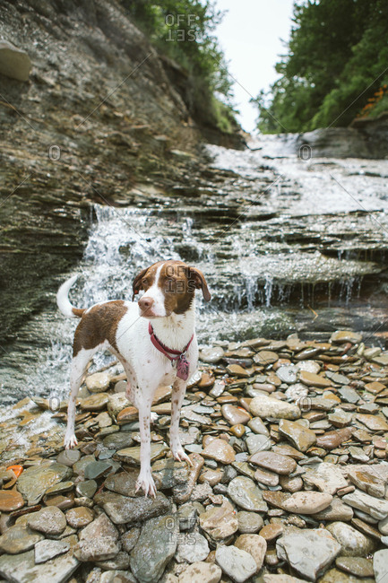 Dog in stony river cascade