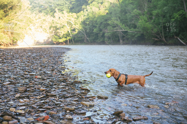 Dachshund playing with ball in river
