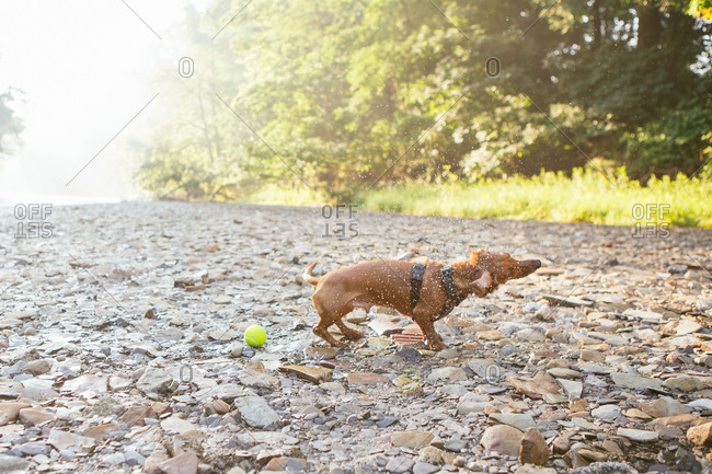 Dachshund shaking off water by river