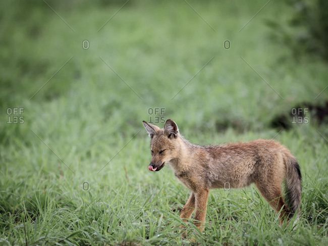 A jackal pup licking its lips in Botswana