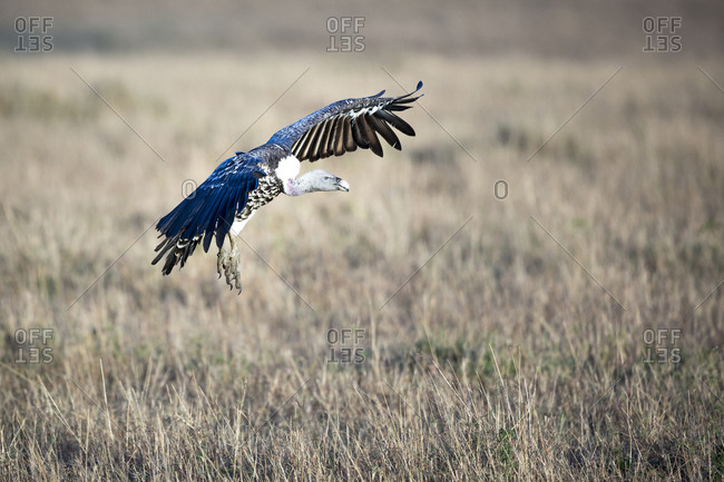Gliding vulture coming in to land in Maasai Mara grassland