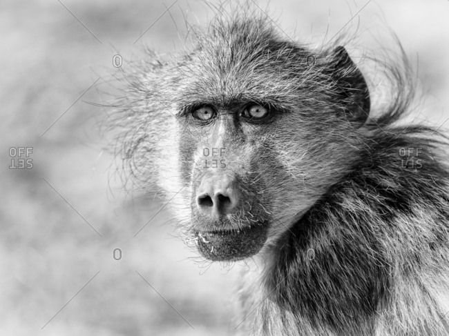 Portrait of a baboon in Namibia