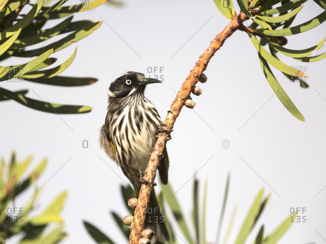 Honeyeater bird perched on a branch