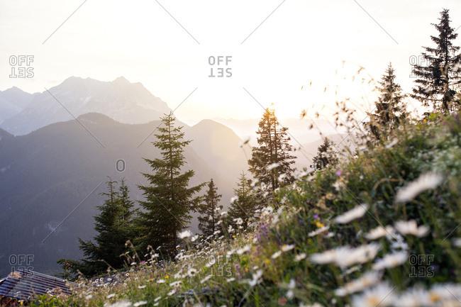 Field of flowers, Karwendel, Austria