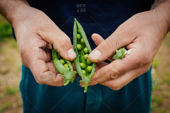 Man holding some pea pods