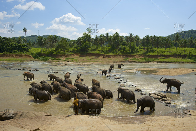Pinnawela, Sri Lanka - March 30, 2015: Orphaned Indian elephants at the Udawalawe Elephant Transit Home