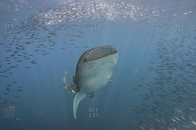 Indonesia- Papua- Cenderawasih Bay- Whale shark and school of fish