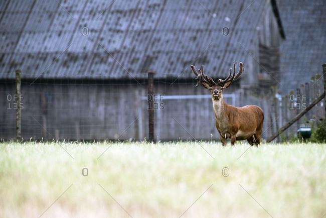 Red deer stag with antlers in velvet at deer farm