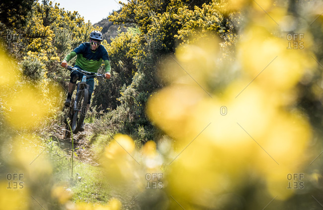 Wicklow, Wicklow, Ireland - May 12, 2016: A Mountain Biker Rides On Single Track Surrounded By Yellow Gorse Bush