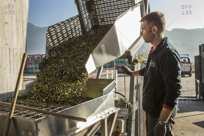 Garda, Trento, Italy - November 18, 2015: Making Olive Oil In Garda, Italy