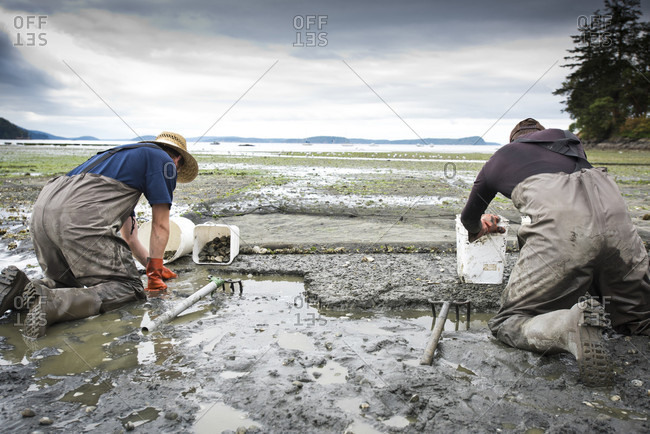 Orcas Island, Washington, USA - August 29, 2016: Two Men Dig For Clams At Buck Bay Shellfish Farm On Orcas Island