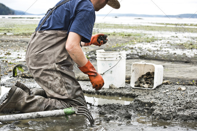 Orcas Island, Washington, USA - August 29, 2016: A Farmer Throws Clams Into A Bucket At Buck Bay Shellfish Farm