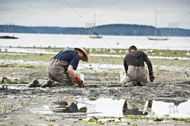 Orcas Island, Washington, USA - August 29, 2016: Two Men Dig For Clams At Buck Bay Shellfish Farm On Orcas Island, Washington, Usa
