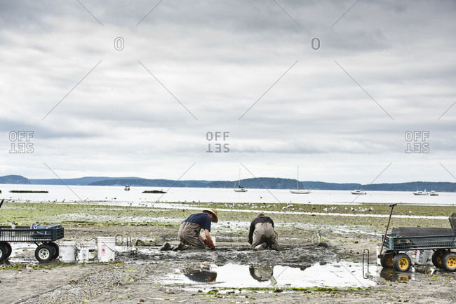 Orcas Island, Washington, USA - August 29, 2016: Two Men Dig For Clams At Buck Bay Shellfish Farm