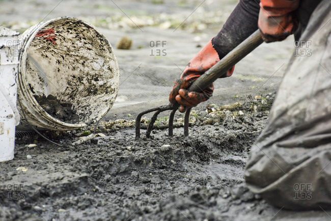 Orcas Island, Washington, USA - August 29, 2016: Close-up Of A Person Digging For Clams At Buck Bay Shellfish Farm