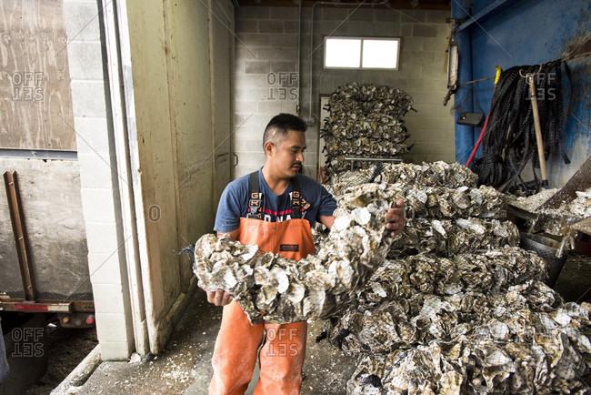 Willapa, Oregon, USA - August 31, 2016: Oyster Farmer Near Willapa Bay Put Bags Of Empty Oyster Shells Onto A Truck